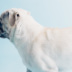 "Blogbeitrag ""White Pugs"""
