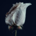 "Blogbeitrag ""Assaulted Flowers"""