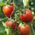 """Blogeintrag """"""""Tomaten-Vielfalt"""""""""""